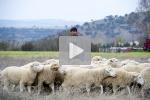 Las ovejas no pi